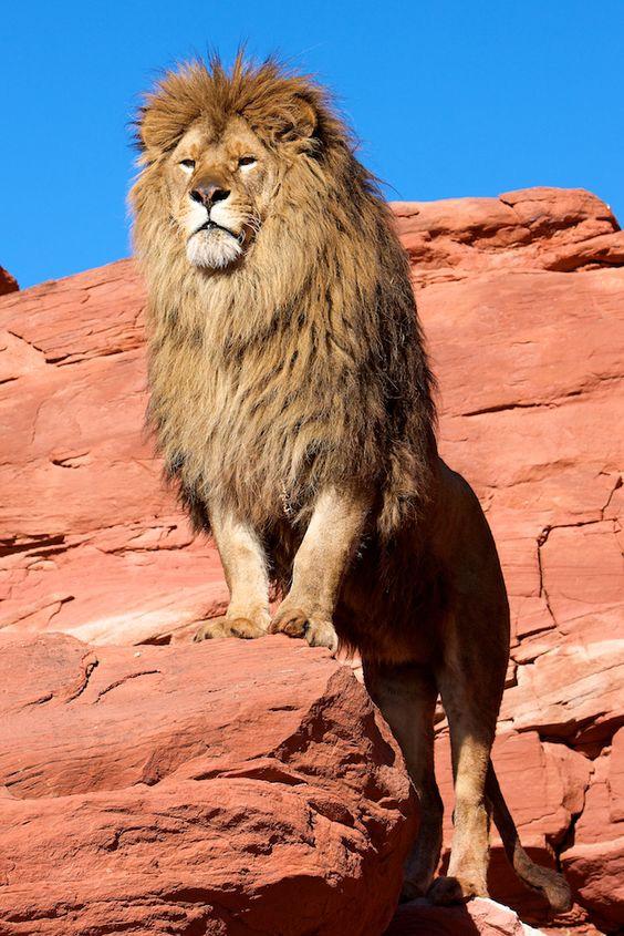 Oroszlán - az állatok király